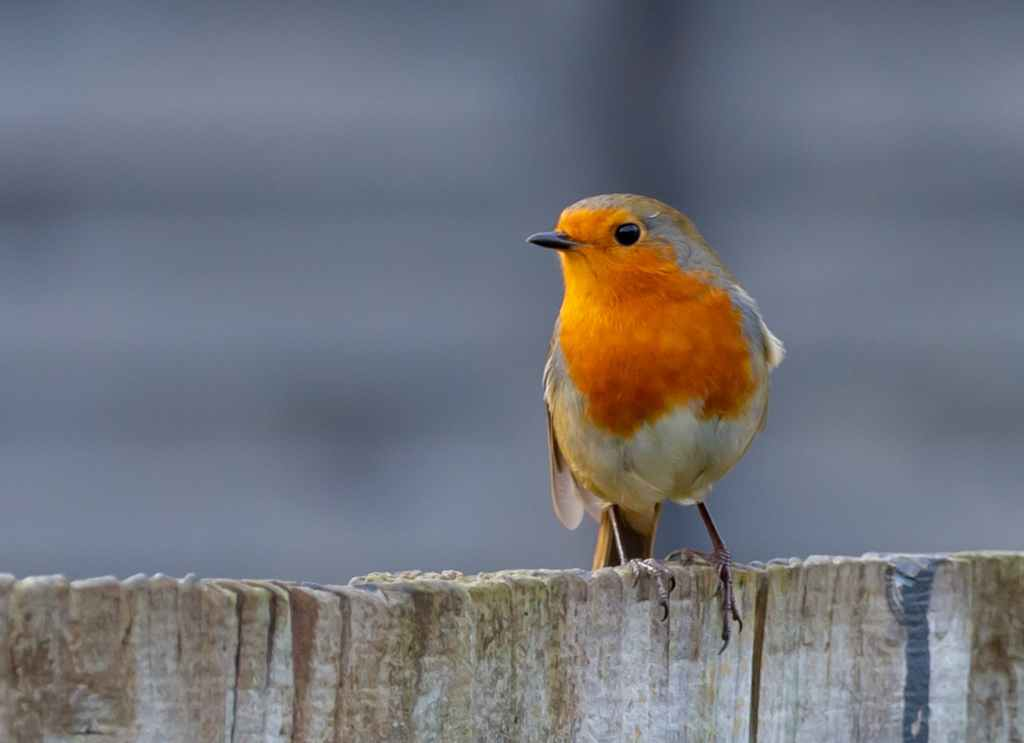 A robin on a wooden fence