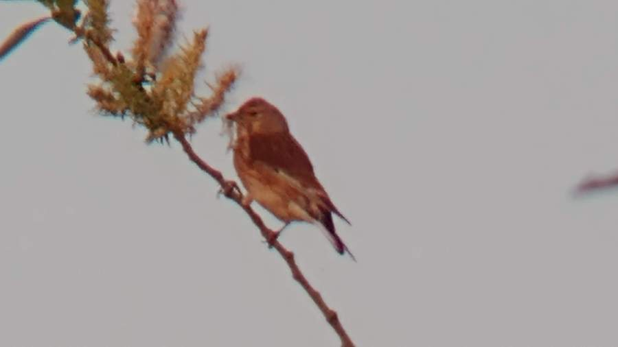 A linnet on a thin branch eating seeds on the end of it
