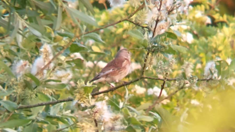 A linnet on a bush facing right and slightly away, showing the grey head